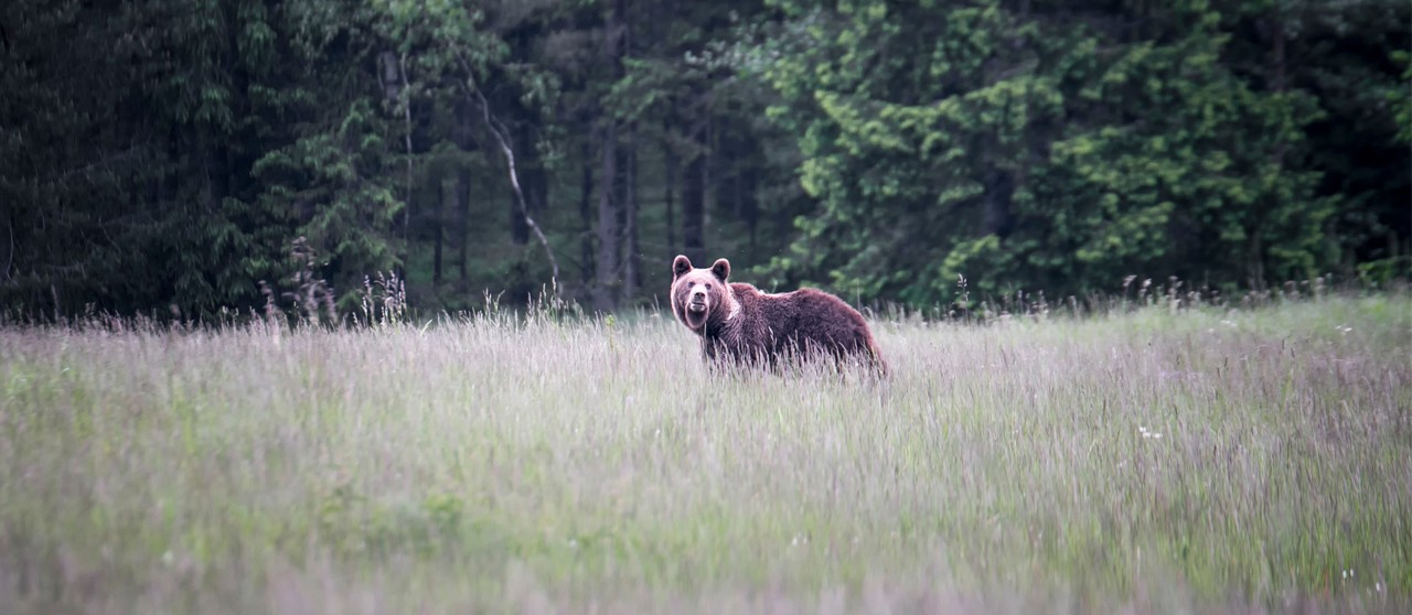 Image of a brown bear in the forest