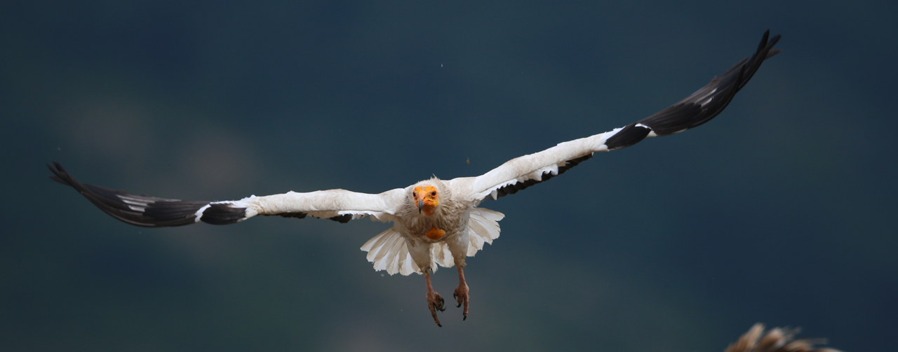 Canary Islands Egyptian Vulture (Guirre) flying