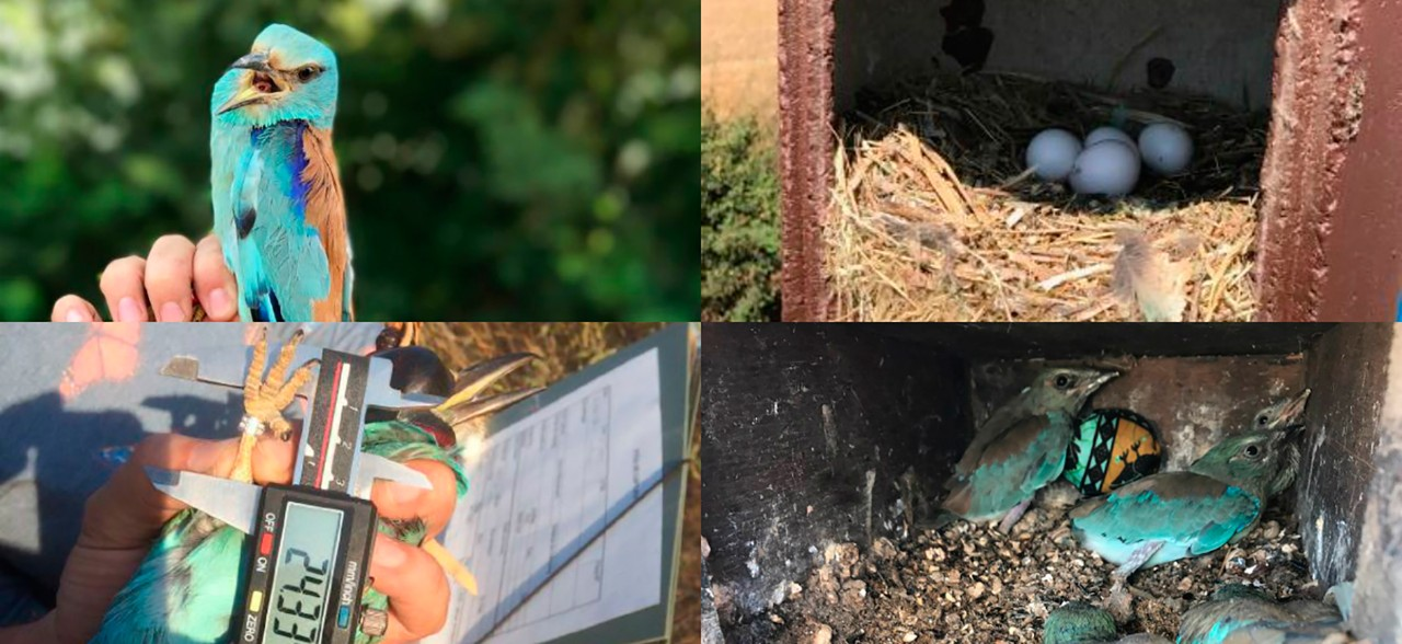 collage of some photos of the European Roller and the nests